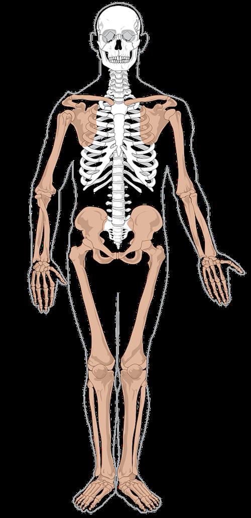 Bones clipart human biology Clip Free Clip Skeleton Public