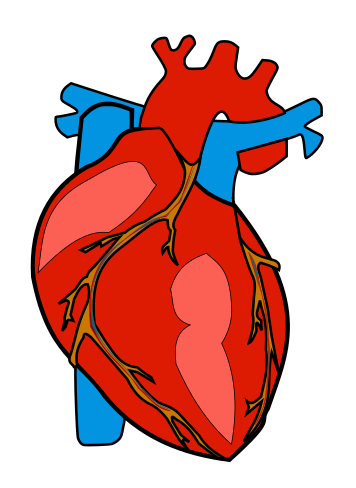 Anatomy clipart anatomical heart Public Clip Page Biology Domain