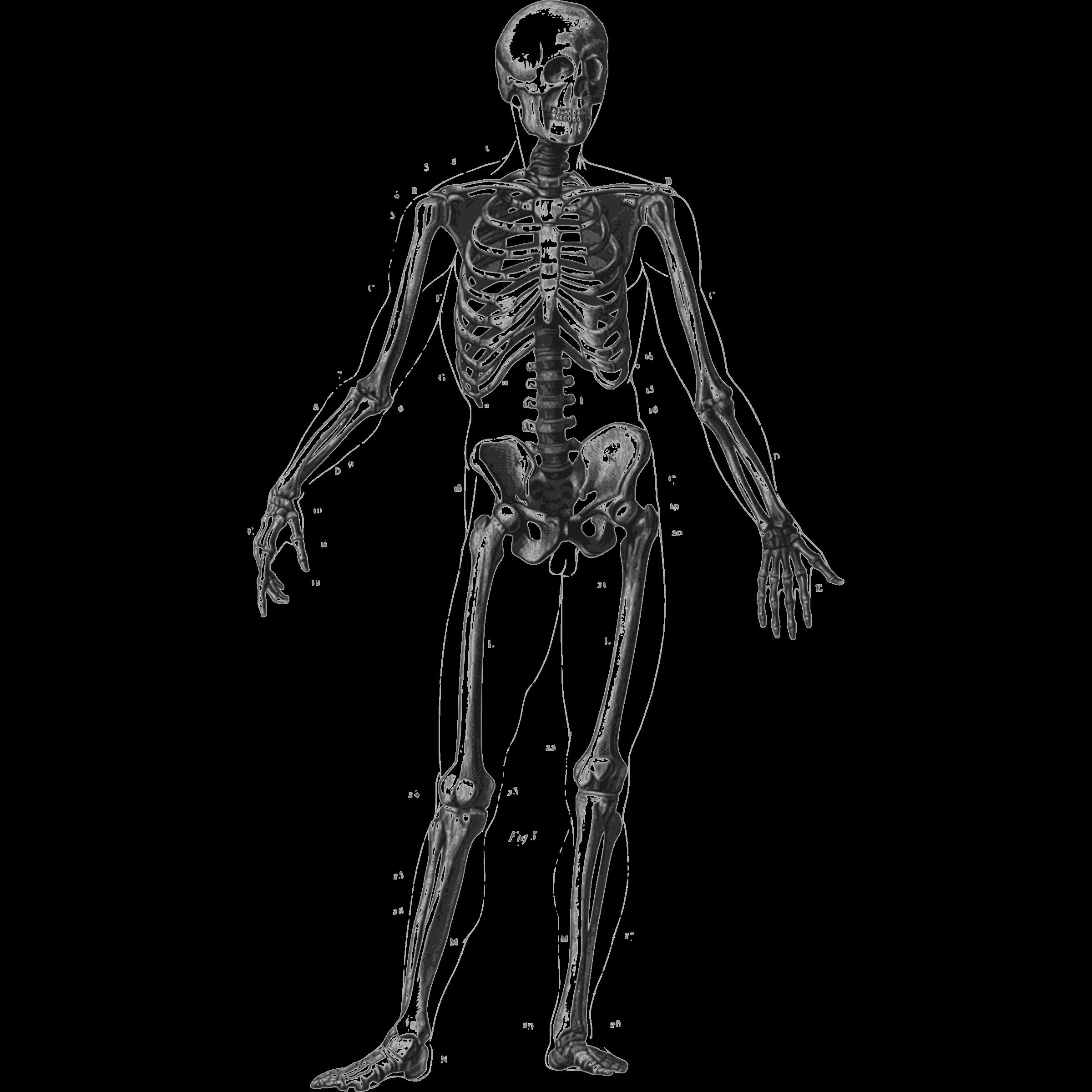 Bones clipart human biology Skeleton human com clipart Cliparting