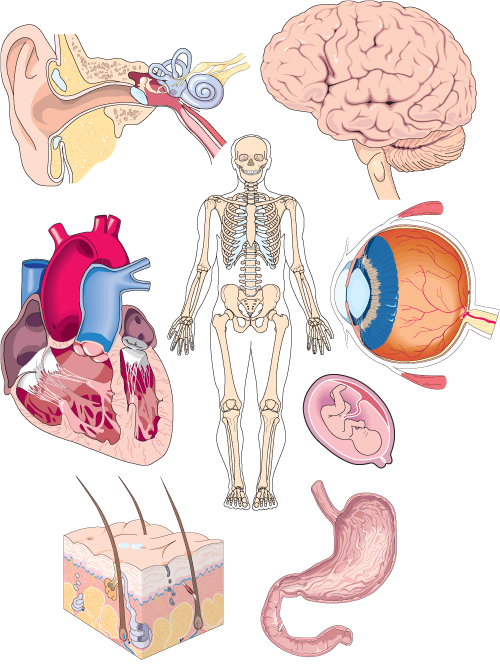 Organs clipart life science Thumbnail human_anatomy Image the Evidence
