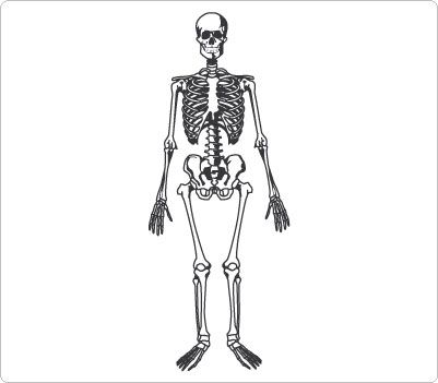 Organs clipart skeleton body Clip Human Clip images Body
