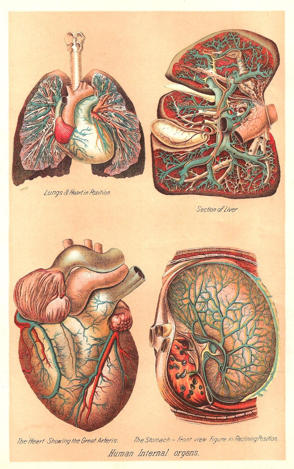 Organs clipart antique By Organs Internal Human print