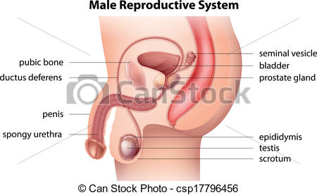 Clipart Vector system  reproductive