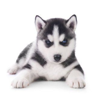 Drawn husky harlem Names: names Huskies on The