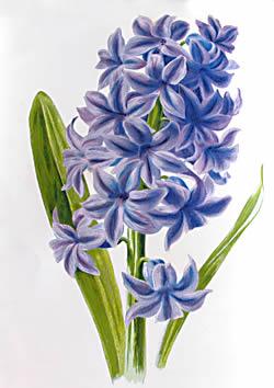 Hyacinth clipart Clipart Hyacinth