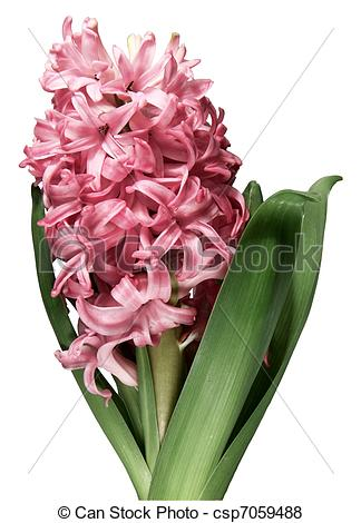 Hyacinth clipart Download White Hyacinth Clipart Clip