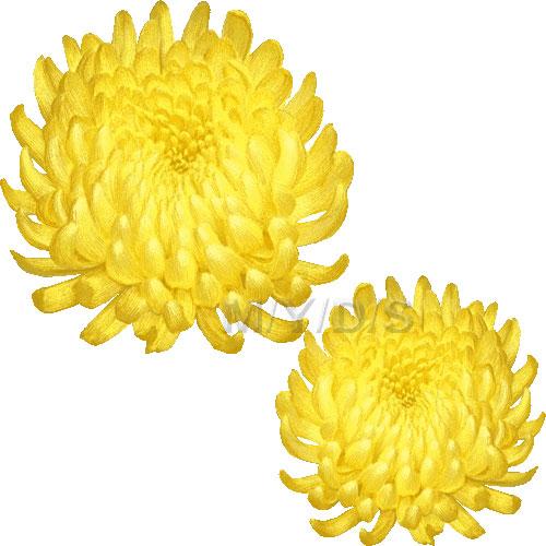 Yellow Flower clipart chrysanthemums Chrysanthemum Irregular clipart Large Incurve