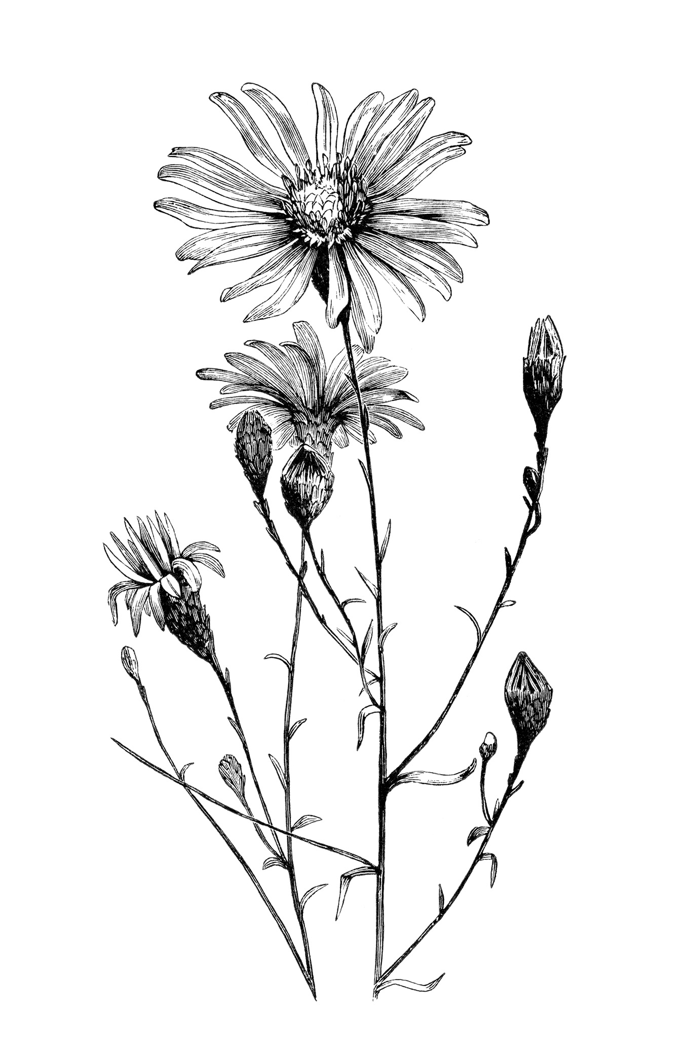 Drawn vintage flower White aster flower flower art