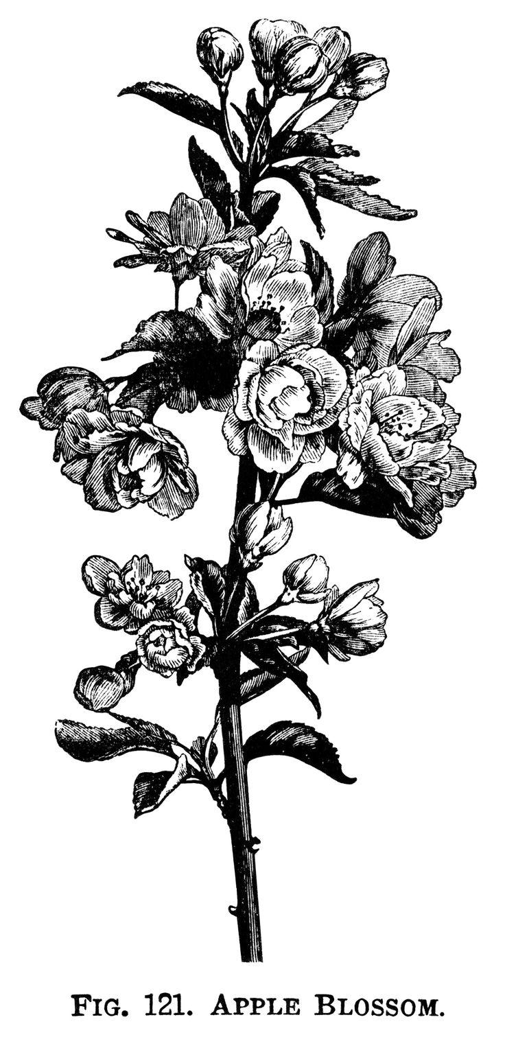 Illustration clipart black and white Blossom apple Google apple illustration