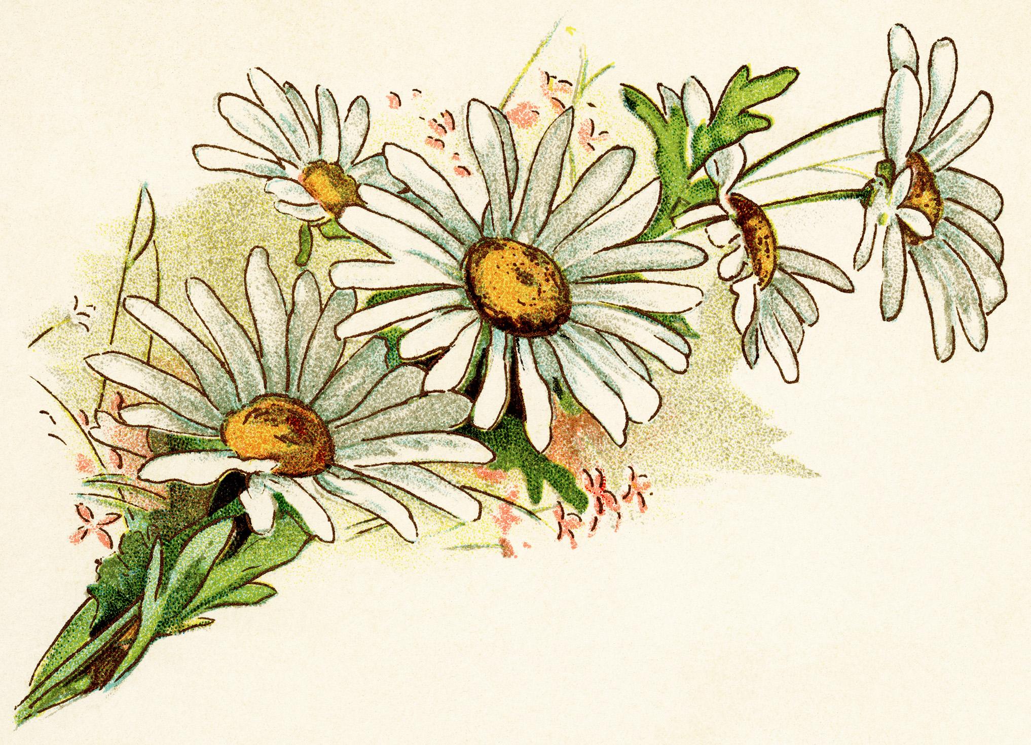 Illustration clipart daisy Free digital daisies fashioned vintage