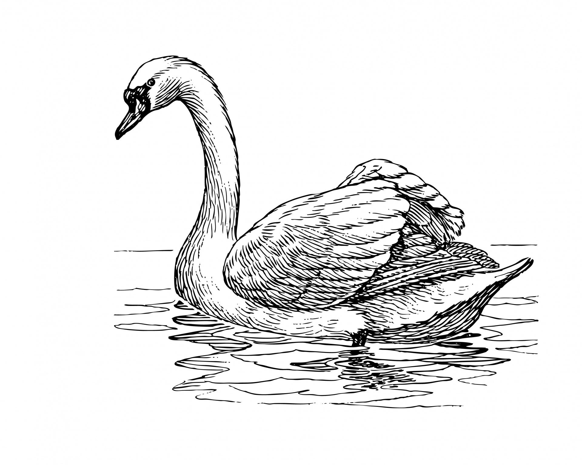 Black Swan clipart illustration Clipart Clipartix Swan pictures clipart