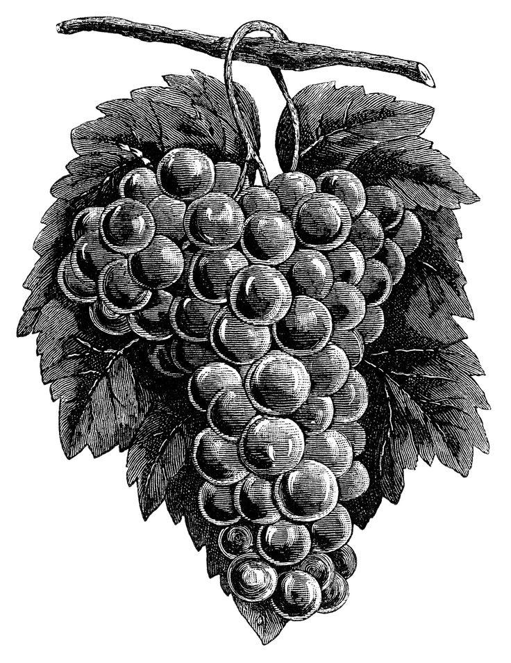 Grape clipart grape leaf Vintage this Vintage Find on