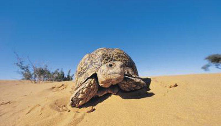 In The Desert clipart adaptation Animals Desert Desert Images Tortoise
