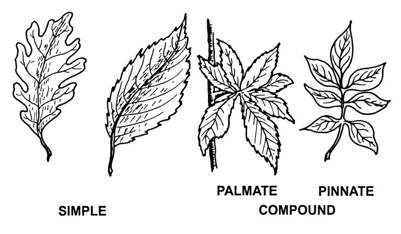 In The Desert clipart biology Biology Leaf Shmoop Biology Structure