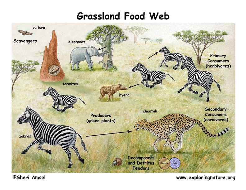In The Desert clipart grassland habitat Food Chains Desert Webs Grasslands