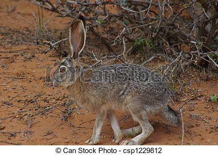 In The Desert clipart jackrabbit Rabbit desert Jack Jack in