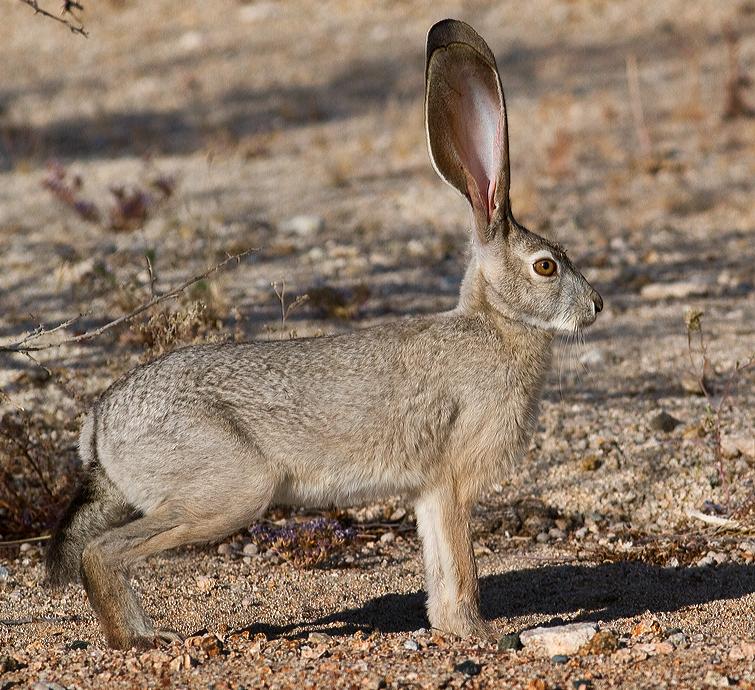In The Desert clipart jackrabbit Tailed Jackrabbit Marin Desert Desert