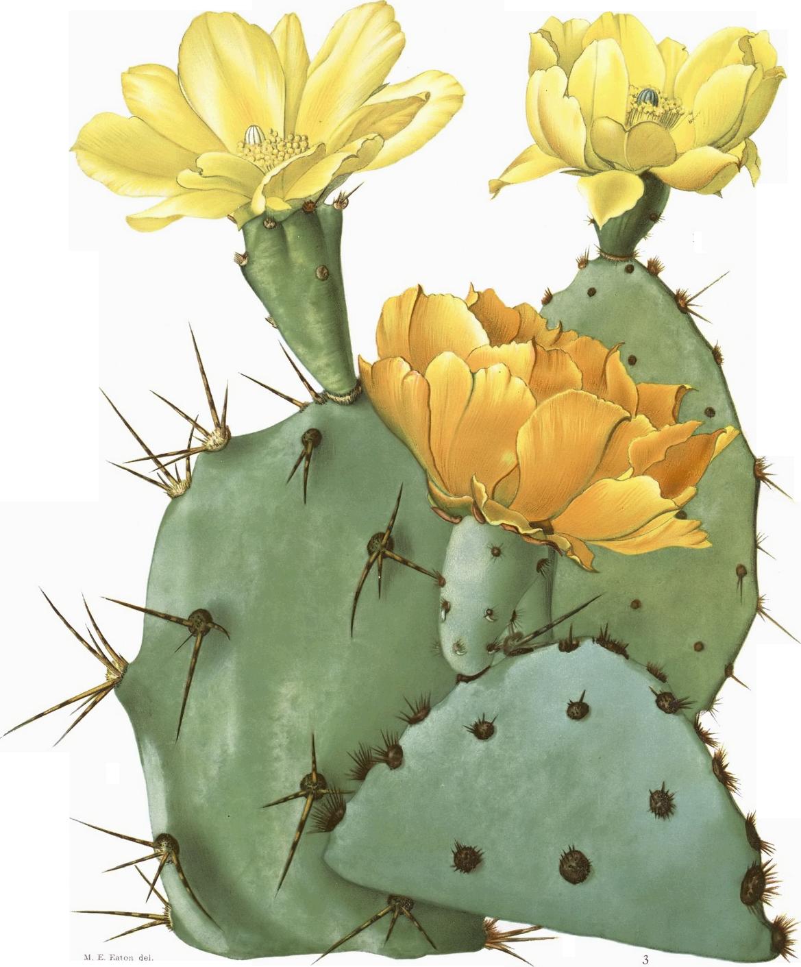 Drawn cactus prickly pear cactus Laevis Pricklypear) Tulip Opuntia Opuntia