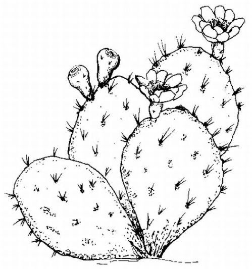 In The Desert clipart prickly pear cactus On doodles cactus #13 images