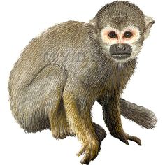 In The Desert clipart squirrel Monkey / / Art Pinterest