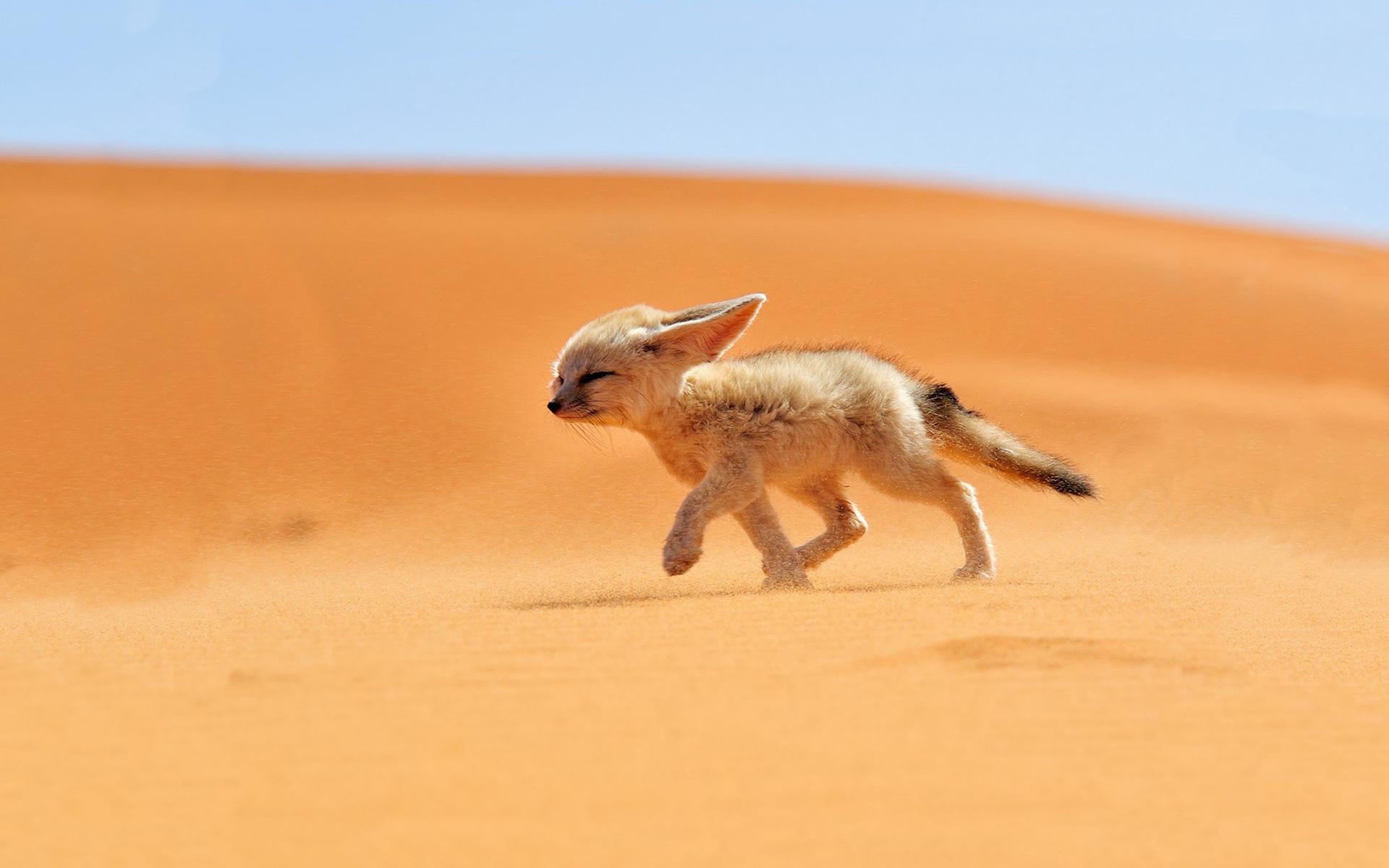 In The Desert clipart wallpaper In The Fox wallpaper Desert