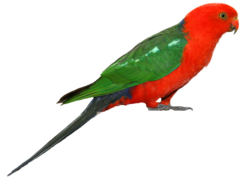 Brds clipart parrot PNG Clipart Parrot Parrot PNG