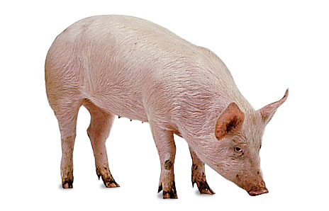 Indian clipart pig For on worked job pig