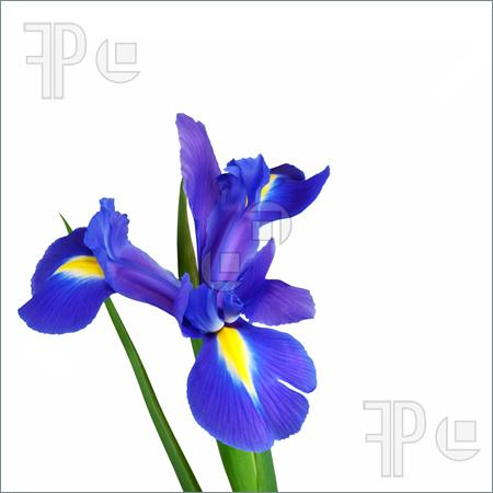 Iris clipart iris flower Flower Flower Download Blue Art