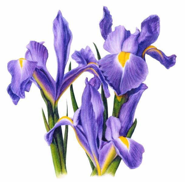 Iris clipart spring flower About images 106 FlowersSpring MY