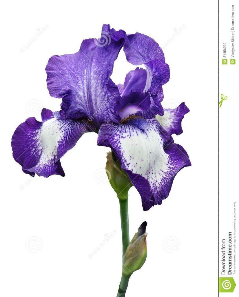 Iris clipart violet Flower free image yafunyafun iris