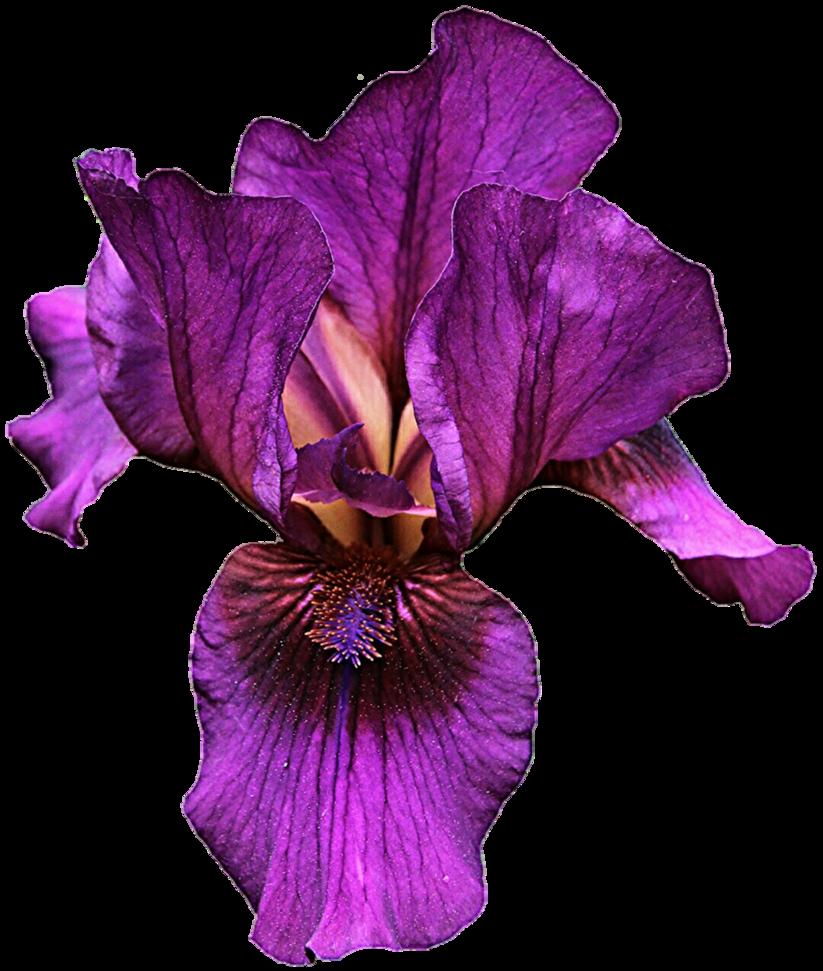 Iris clipart violet DeviantArt Purple jeanicebartzen27 Iris Iris