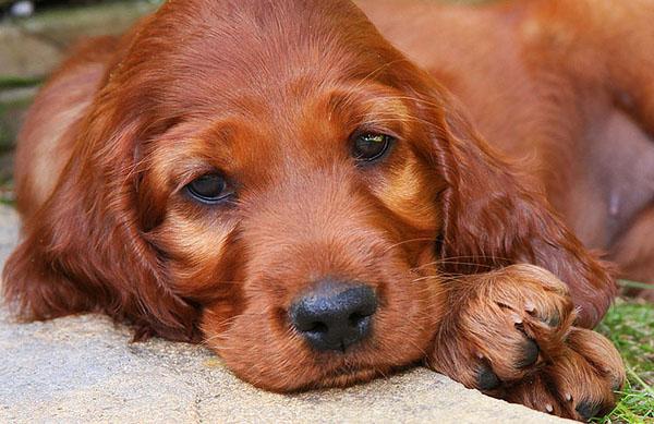Irish Setter clipart Gordon Vvisitingmexico net canineplanet Source: