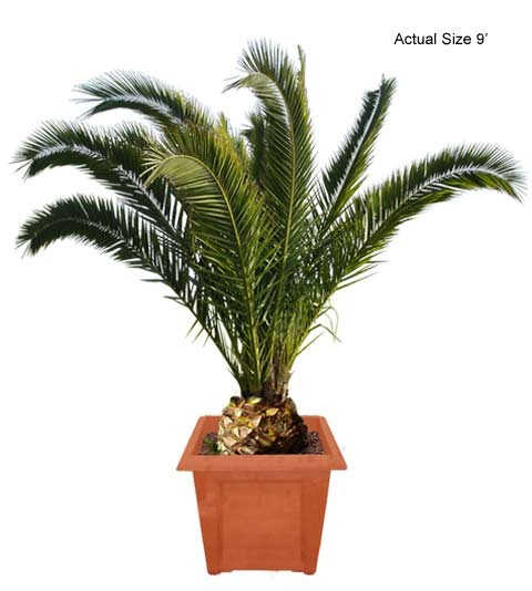 Palm Tree clipart real  Date Date Palm Palm