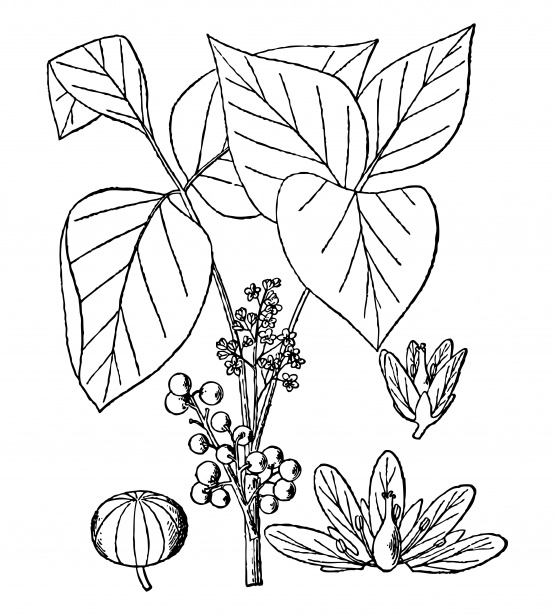 Ivy clipart line #10
