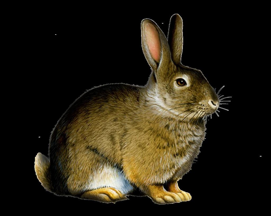 Rabbit clipart wild rabbit #3