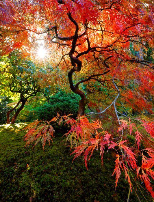Japanese Garden clipart maple tree Maple 33  Japanese Trees