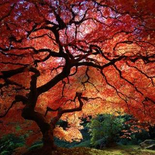 Japanese Garden clipart maple tree Maple They on Best ideas