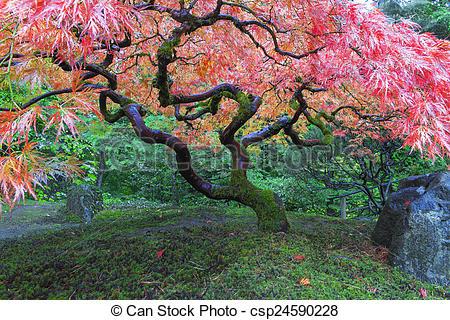 Japanese Garden clipart maple tree Maple at Garden at Stock