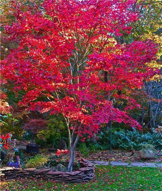 Japanese Garden clipart maple tree Japanese on is exposure hot