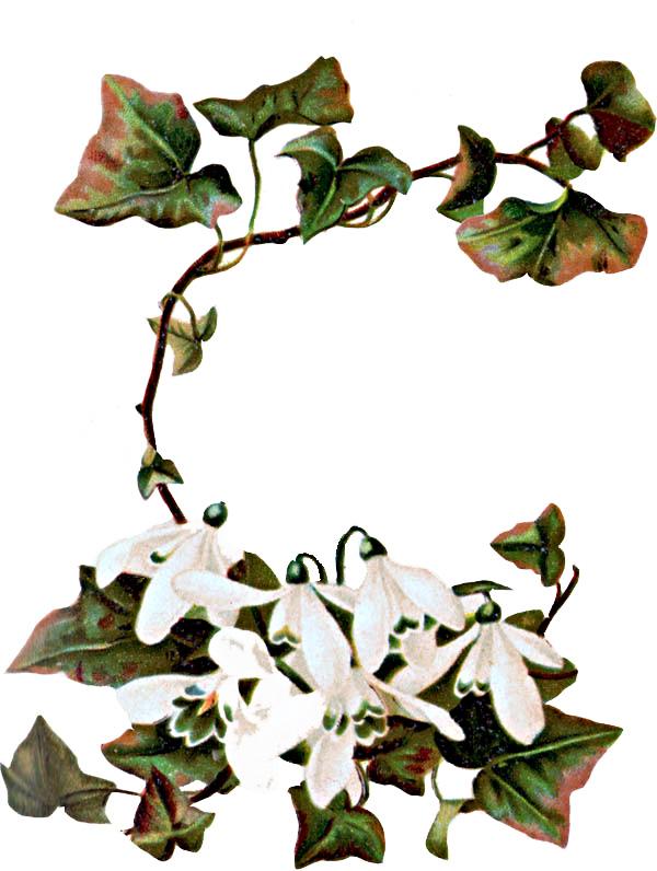 Ivy clipart vintage Jasmine #5 Clipart Jasmine art
