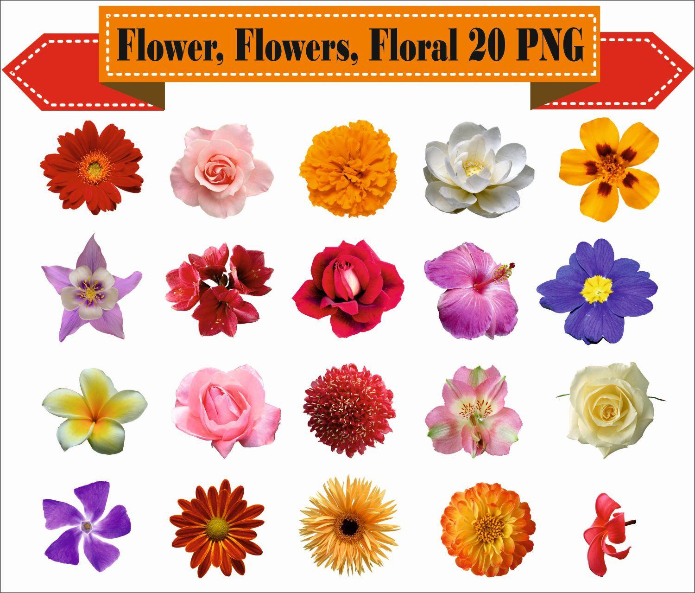 Jasmine clipart rose Supplies Flower Clipart PNG Art