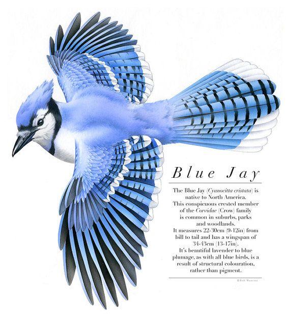 Blue Jay clipart flight drawing Ideas on art of Best