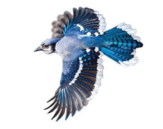 Blue Jay clipart flight drawing Jay Blue photo#13 jay Flying