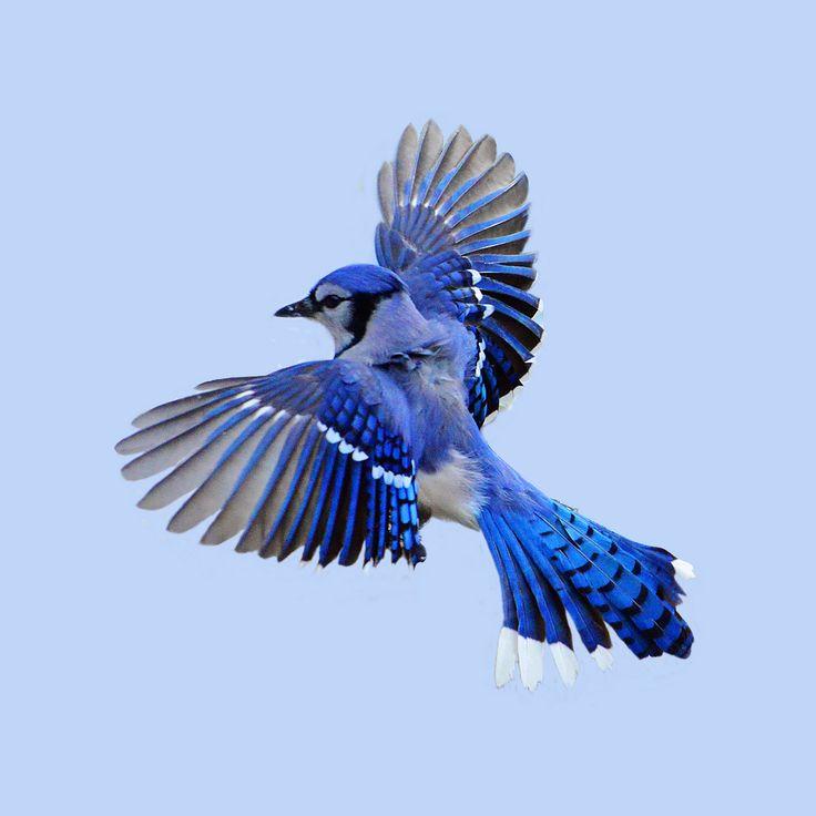 Blue Jay clipart flight drawing Clipart Jay Flying Flying Jay