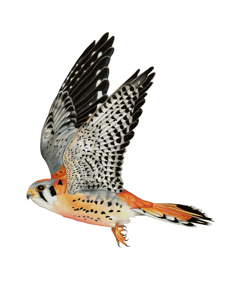 Kestrel clipart Item? American this Like 8x10