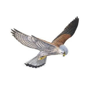 Kestrel clipart Kestrel Class Websites Useful School