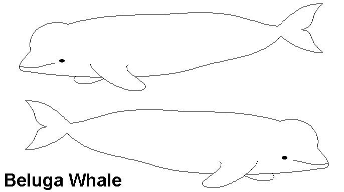 Beluga Whale clipart basic Whale Clipart info Clipart Beluga