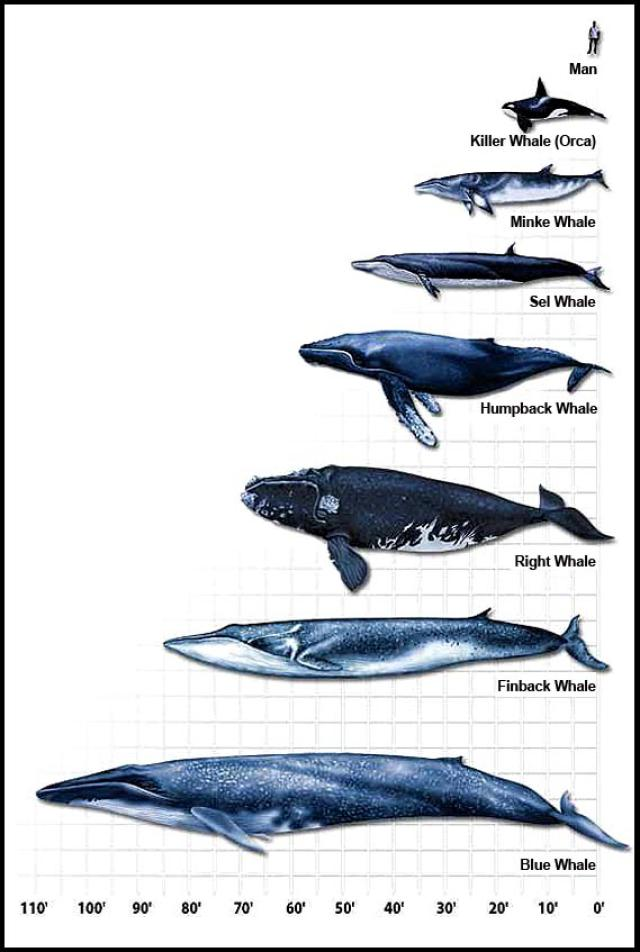 Blue Whale clipart diver Graphic About Chart facts The