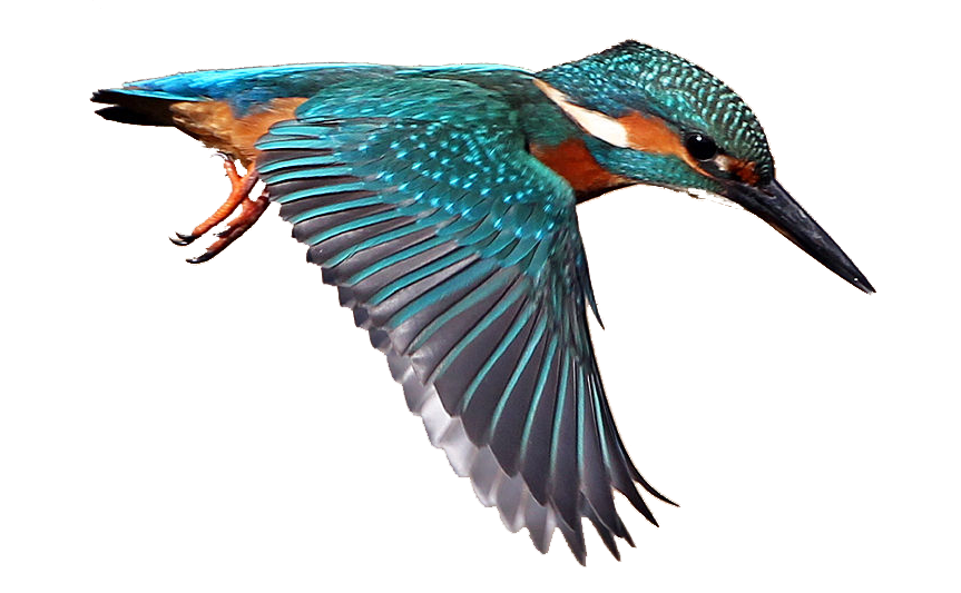 Kingfisher clipart Bird Cliparts Image Zone Masked