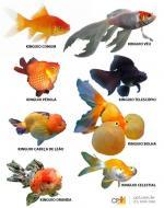 Kinguio clipart Kinguio Kingsfisher coloring Kingsfisher coloring